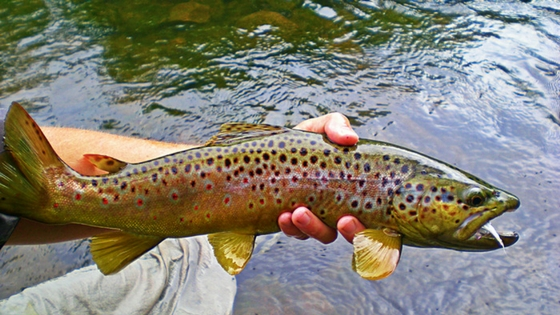 Image of a person holding a dead brown trout