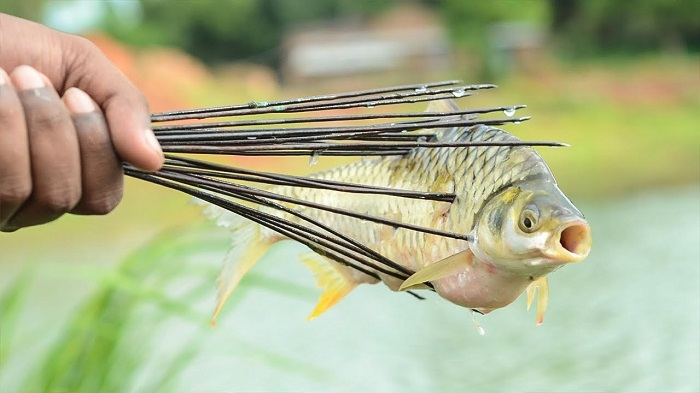 A Fisher Man Hold The Striper Fish - By Traditional Method Of Fishing.