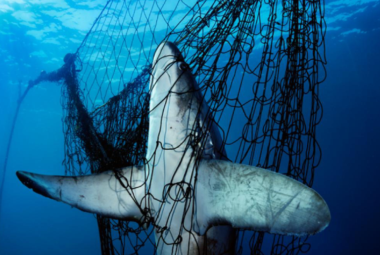 A Large Fish In Net.