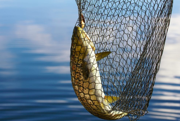 A Large Fish Caught In The Fishing Net.