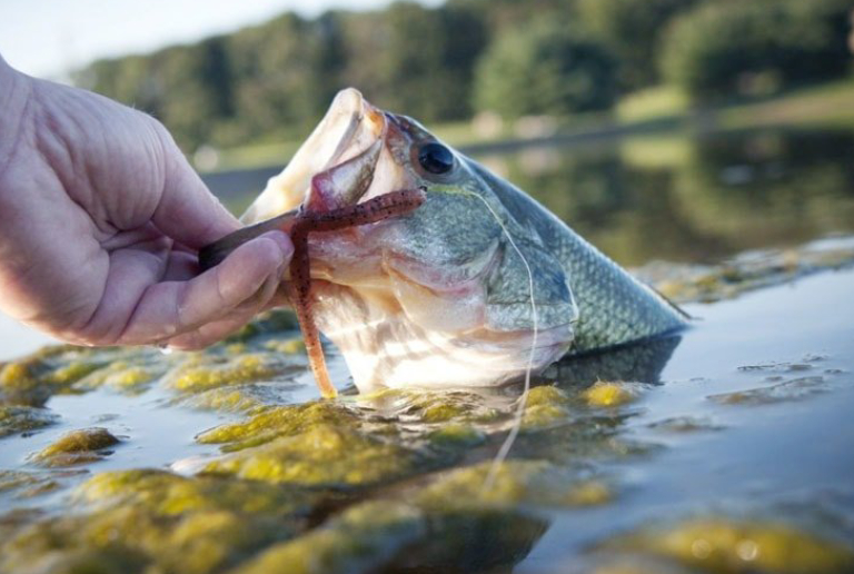 A Man Cateched A Fish From The Freshwater Lake.