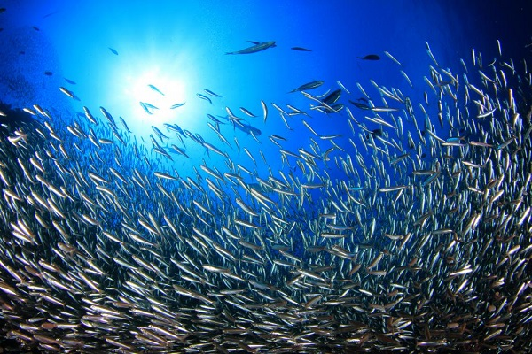 Diving With Group of Jack Fish.