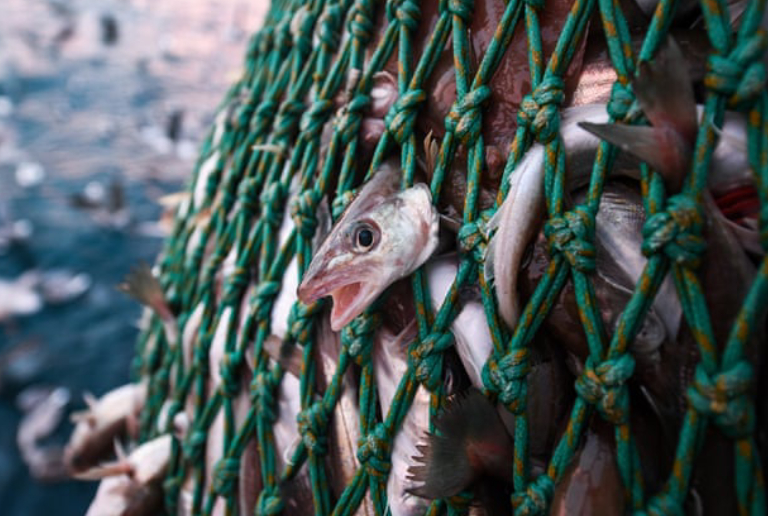 Group Of Fishes Catched Up In A Net.